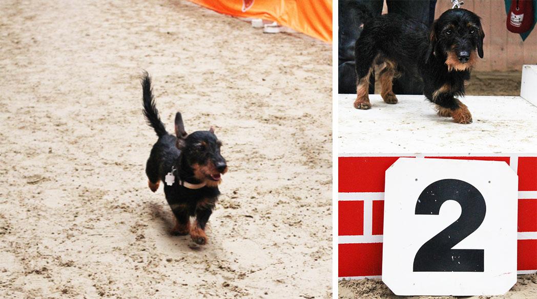 Emil bellt: Ich bin ein Champion im Dackelrennen!