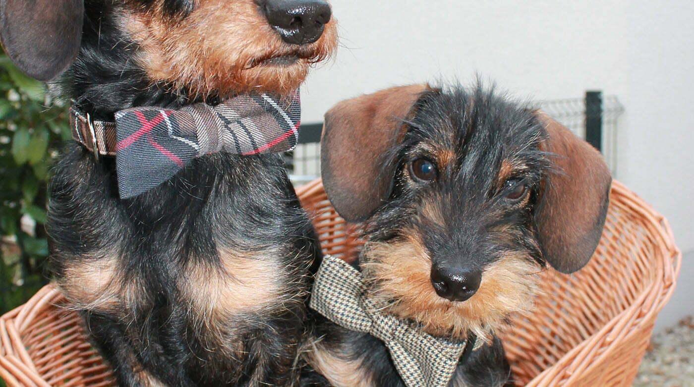 Blog-Dackel Emil bellt: Wir sind so schick in Tweed!