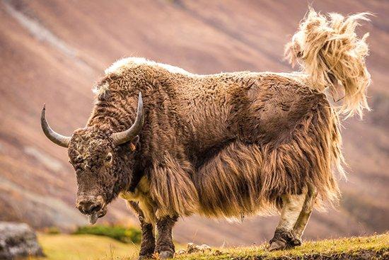 Die edelsten Wollsorten der Welt: Yakwolle