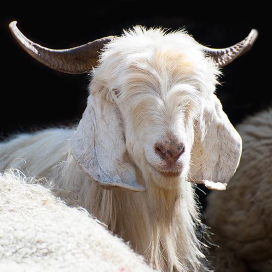 Die edelsten Wollsorten der Welt: Kaschmir