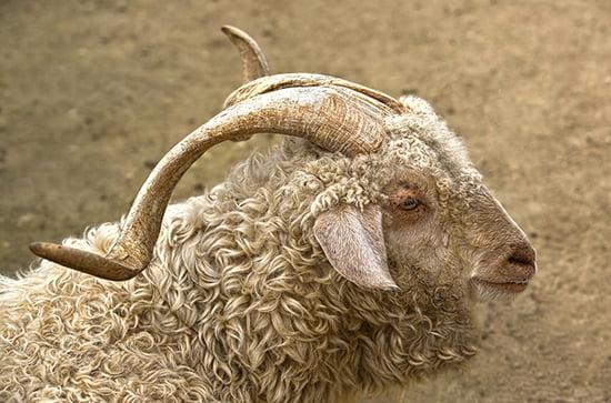 Die edelsten Wollsorten der Welt: Mohair