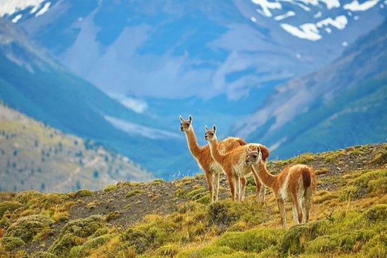 Die edelsten Wollsorten der Welt: Guanakowolle