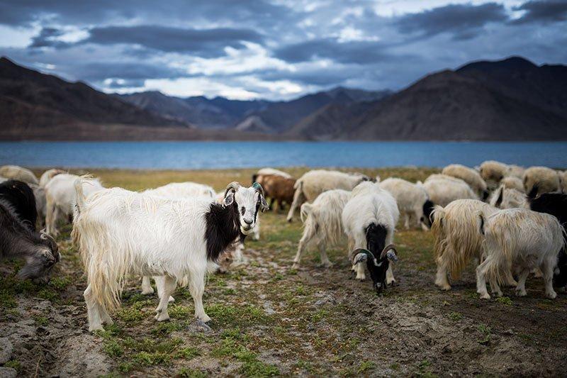 Kaschmirziegen in der Mongolei: Vom Klimawandel betroffen