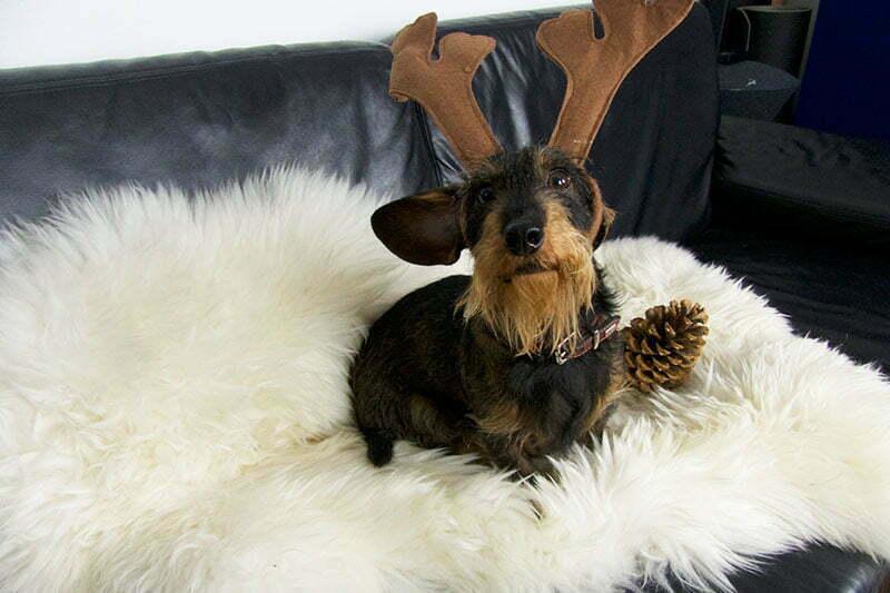 Lady-Blog Dackel Emil wünscht frohe Weihnachten