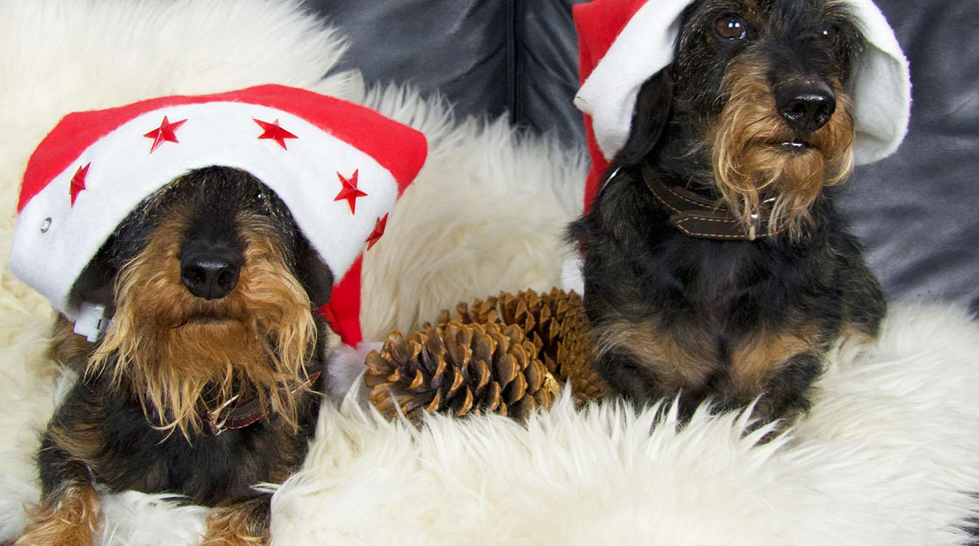 Dackel Emil bellt: Wir wünschen Euch frohe Weihnachten!