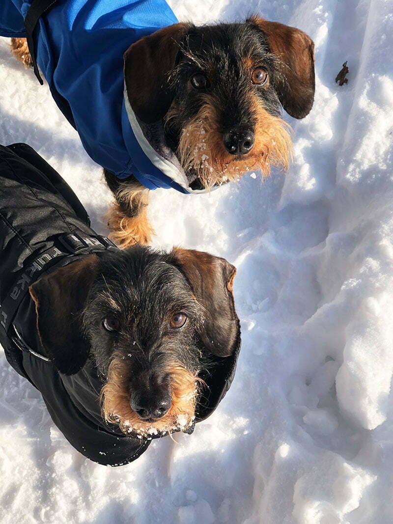 Dackel im Schnee