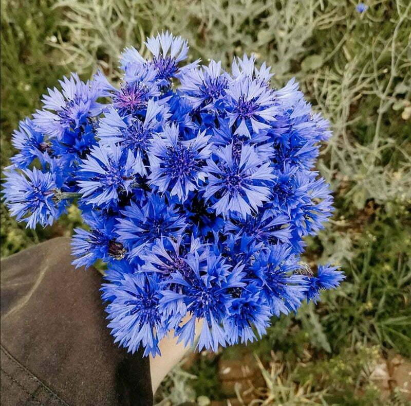 Ideen für Wildblumen-Sträusse: Kornblumen